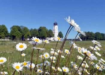 Margeriten mit Kirche im Hintergrund